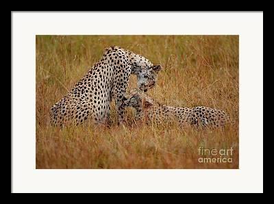 Cheetah Photographs Framed Prints