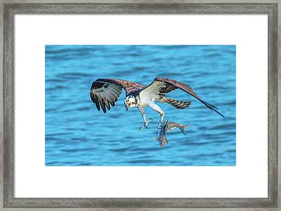 Best Osprey With Fish In One Talon Framed Print
