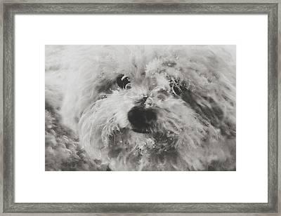 Bichon Freeze Framed Print by Susan Maxwell Schmidt