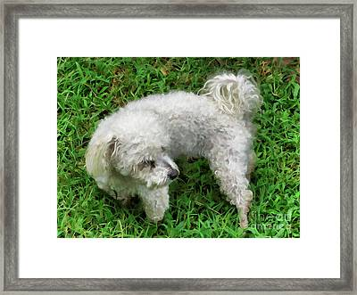 Bichon Frise On A Green Grass Outdoors Framed Print by Lanjee Chee