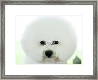 Bichon Frise Show Dog Framed Print