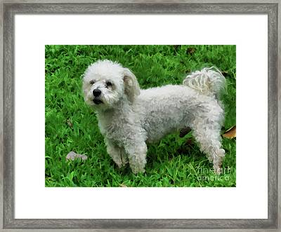 Bichon Standing On Green Grass Framed Print by Lanjee Chee