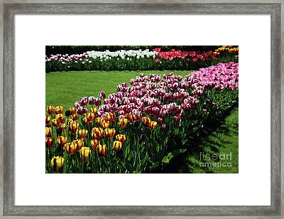 Multicolor Tulips Framed Print
