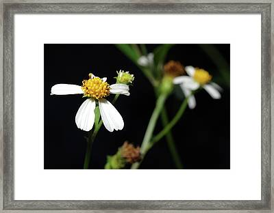 Framed Print featuring the photograph Bidens Alba by Richard Rizzo