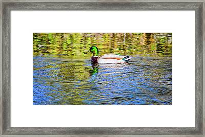 Bidwell Duck In Fall Framed Print by Keith Lander