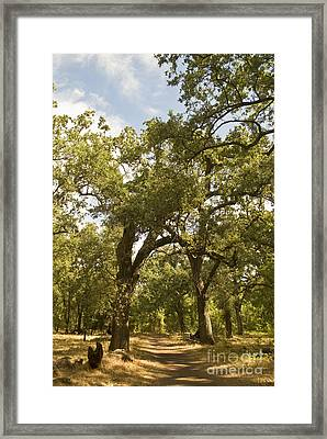 Bidwell Park Oak Tree Framed Print