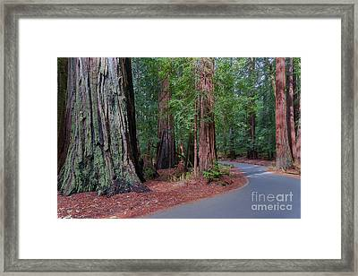 Big Basin Redwoods Framed Print