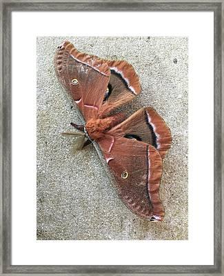 Big Beautiful Silk Moth Framed Print