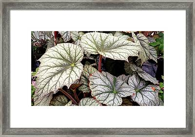 Big Begonia Leaves Framed Print