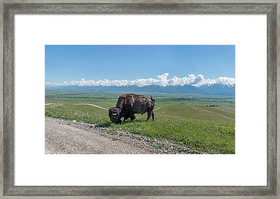 Big Bison Bull Grazing Along Red Sleep Road National Bison Range Framed Print