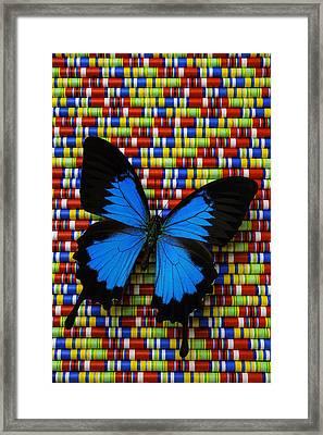 Big Blue Butterfly Framed Print by Garry Gay