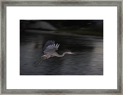 Big Blue Heron In Flight-debbie-may Framed Print by Debbie May