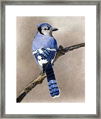 Framed Print featuring the drawing Big Blue Jay by Ana Tirolese