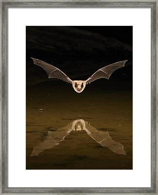 Big Brown Bat Reflection Framed Print by Scott  Linstead