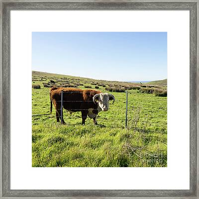Framed Print featuring the photograph Big Bull At Point Reyes National Seashore California Dsc4884-sq by Wingsdomain Art and Photography