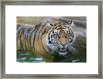 Framed Print featuring the photograph Big Cat by Elizabeth Budd