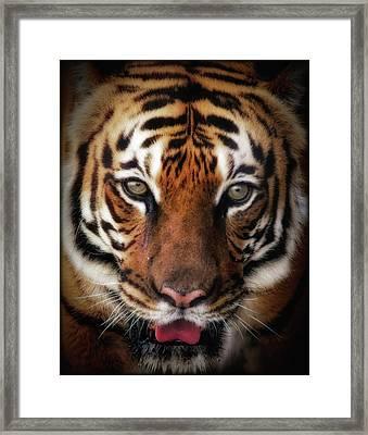 Big Cat Stare Down Framed Print