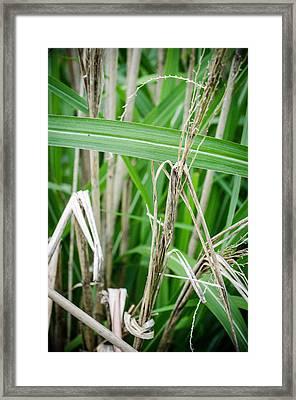 Big Grass Blade Framed Print