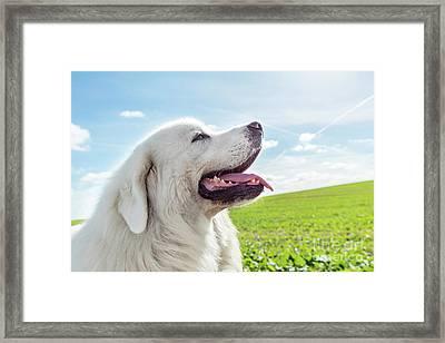 Big Guard Dog Enjoying A Walk On A Sunny Day. Polish Tatra Sheepdog Framed Print
