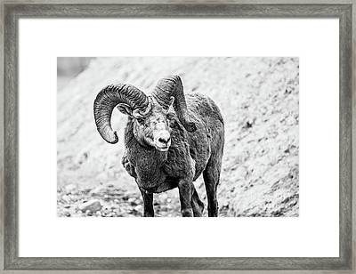 Big Horn Banff National Park - Bw Framed Print