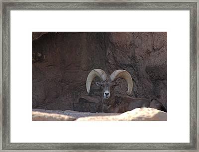 Framed Print featuring the photograph Big Horn Ram by Daniel Hebard