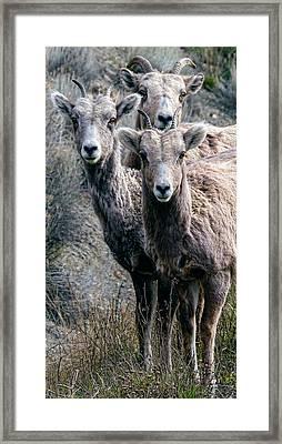 Big Horn Sheep Framed Print by Daniel Hagerman