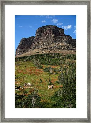 Big Horn Sheep Framed Print by Lawrence Boothby