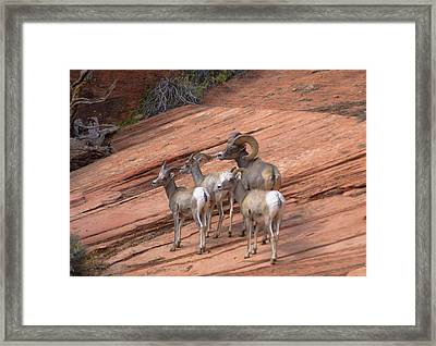 Big Horn Sheep, Zion National Park Framed Print