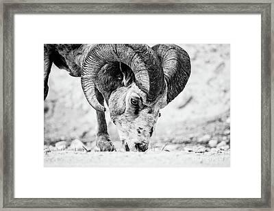Big Horn Using A Mineral Lick Bw Framed Print