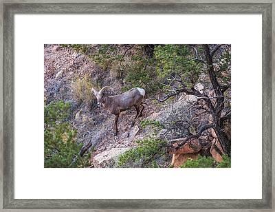 Big Horned Ram Framed Print