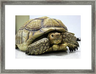Big Ol Turtle Framed Print