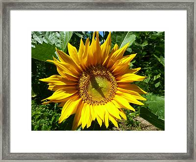 Big Sunshine Framed Print by Tina M Wenger