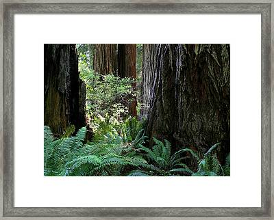 Big Trees And Ferns Framed Print by Jim Nelson