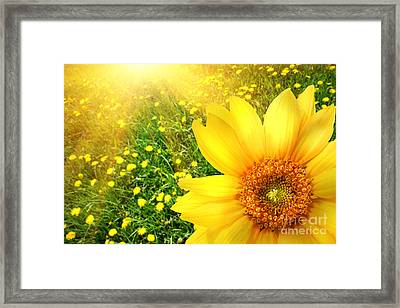Big Yellow Sunflower  Framed Print