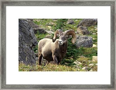 Bighorn 1 Framed Print by Marty Koch