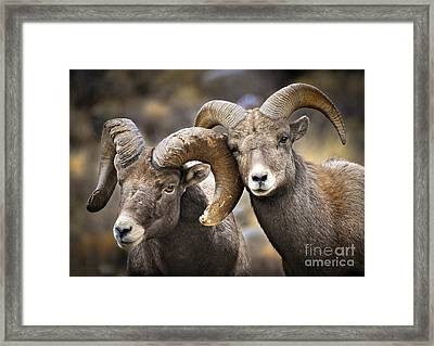 Bighorn Brothers Framed Print by Kevin Munro