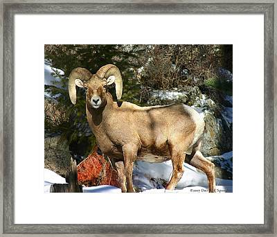Framed Print featuring the photograph Bighorn Ram by Perspective Imagery