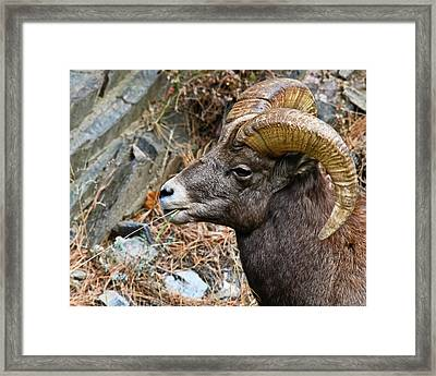 Bighorn Ram Hayseed Framed Print by Harry Strharsky
