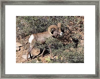 Bighorn Ram Framed Print