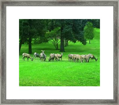 Framed Print featuring the digital art Bighorn Sheep Ewes  by Chris Flees