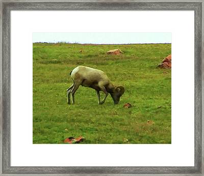 Framed Print featuring the digital art Bighorn Sheep Grazing by Chris Flees