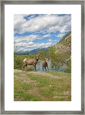 Bighorn Sheep In The Rocky Mountains Framed Print