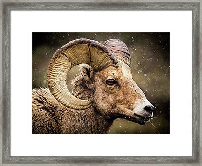 Bighorn Sheep In Winter Framed Print