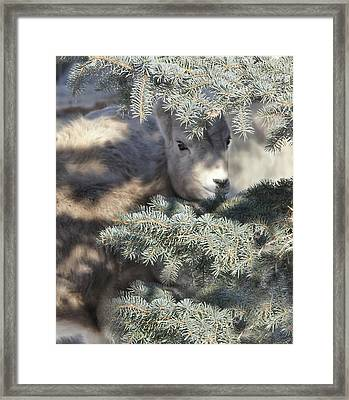 Framed Print featuring the photograph Bighorn Sheep Lamb's Hiding Place by Jennie Marie Schell