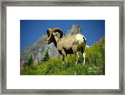 Bighorn Sheep Framed Print by Marc Bittan
