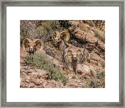 Bighorn Sheep On A Hillside Framed Print by Morris Finkelstein