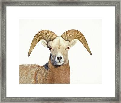 Framed Print featuring the photograph Bighorn Sheep Ram by Jennie Marie Schell