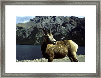 Framed Print featuring the photograph Bighorn Sheep by Sally Weigand