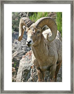 Framed Print featuring the photograph Bighorn Sheep by Wesley Aston