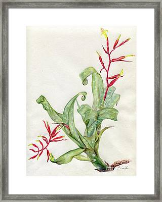 Billbergia Lietzei Framed Print by Penrith Goff